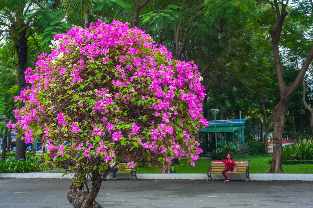 Bougainvillea, Ho Chi Minh City