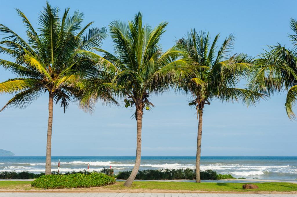 Coconut Palms, Danang, Vietnam