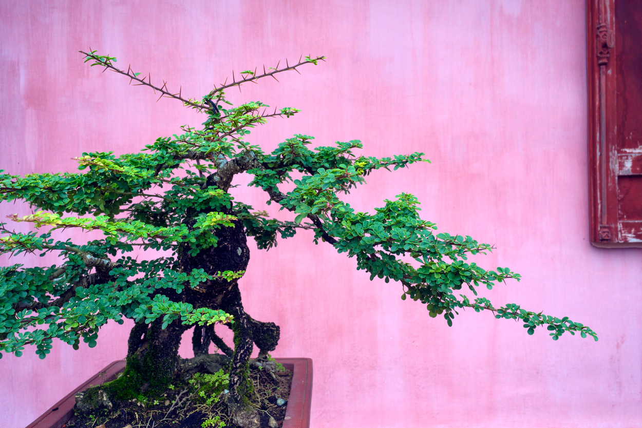 Bonsai style trees are popular in Vietnam; this example is inside the grounds of the Thien Mu Pagoda.